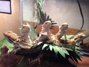 Come see the bearded dragons at The Reptile Zone in Bend Oregon