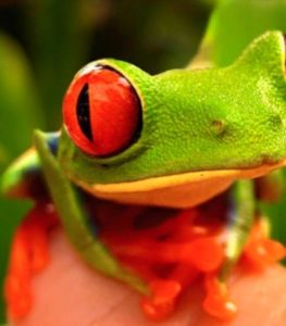 Come see the red eyed tree frog at The Reptile Zone