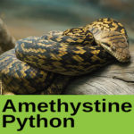 Amethystine Python at The Reptile Zone in Bend Oregon