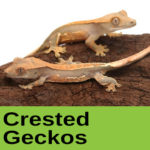 Crested Geckos at The Reptile Zone in Bend Oregon