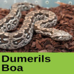 Dumerils Boa at The Reptile Zone in Bend Oregon