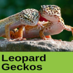Leopard Geckos at The Reptile Zone in Bend Oregon