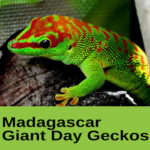 Madagascar Giant Day Geckos at The Reptile Zone in Bend Oregon