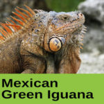 Mexican Green Iguana at The Reptile Zone in Bend Oregon