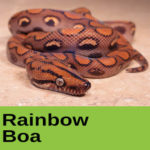 Rainbow Boa at The Reptile Zone in Bend Oregon