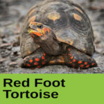 red foot tortoise at The Reptile Zone in Bend Oregon