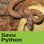 Savu Pyghon at The Reptile Zone in Bend Oregon