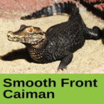 Smooth Front Caiman at The Reptile Zone in Bend Oregon