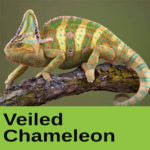 Veiled Chameleon at The Reptile Zone in Bend Oregon
