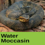 Water Moccasin at The Reptile Zone in Bend Oregon