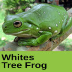 Whites Tree Frog at The Reptile Zone in Bend Oregon