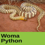 Woma Python at The Reptile Zone in Bend Oregon
