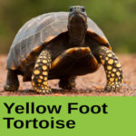 Yellow Foot Tortoise at The Reptile Zone in Bend Oregon